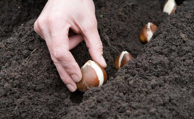 Высадка луковиц в грунт