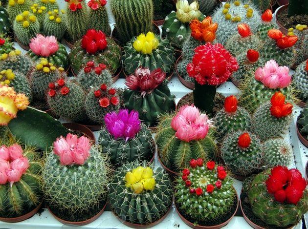 Мало кто знает, например, что кактусы цветут. Причём цветут все