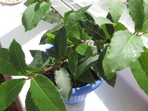 Деревце растет медленно, тем не менее, требует ежегодной пересадки, пока оно молодо