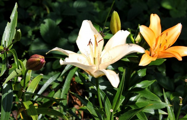 Лилии любят плодородные почвы