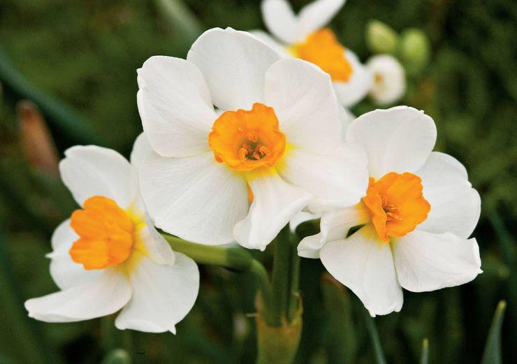 Многоцветковые или тацетовидные нарциссы