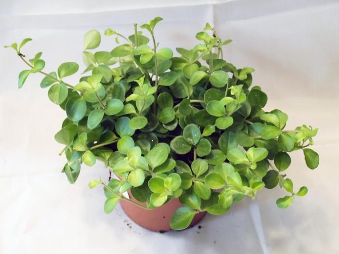 Если у растения опадают листья, необходимо повысить температуру содержания и чаще поливать его