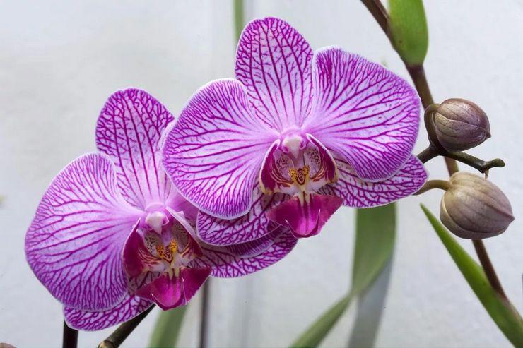 Описание орхидеи фаленопсис