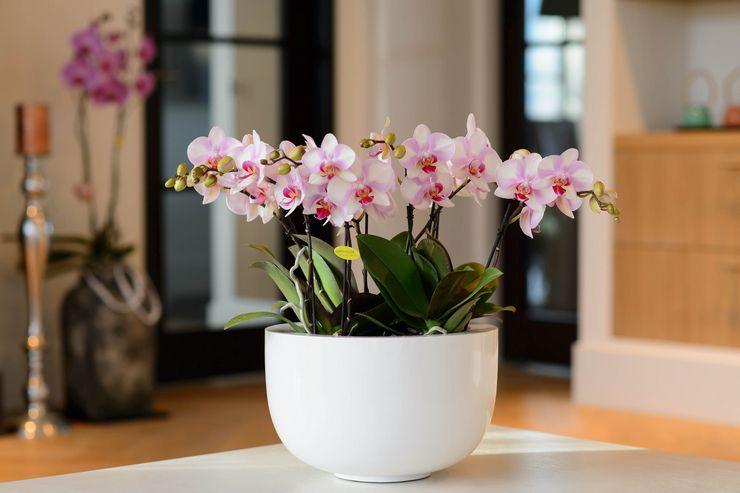 Уход за орхидеей фаленопсис в домашних условиях
