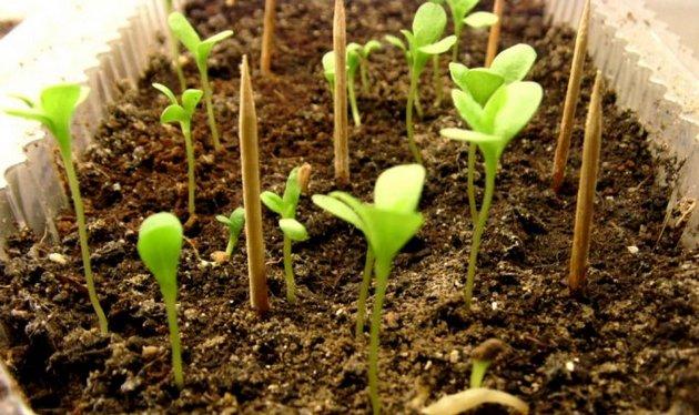 Семена высаживают в почву на глубину полсантиметра