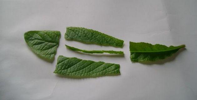 у стрептокарпуса лист разрезают вдоль центральной жилы