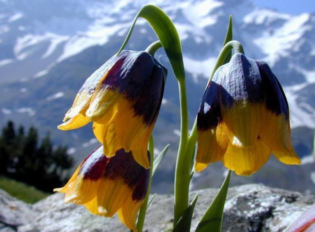 Рябчик императорский – высокое растение, иногда стебли достигают почти метровой высоты
