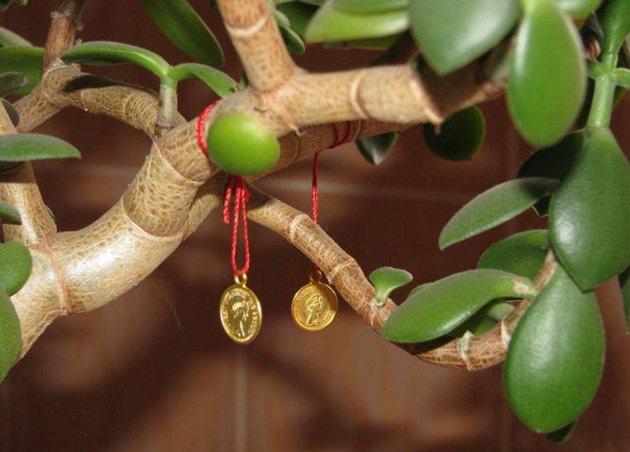Толстянка или «Денежное дерево». Вырастить и разбогатеть!