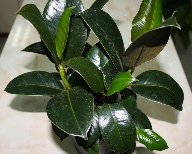 Если вы хотите отполировать и без того блестящие листья фикуса каучукового, то старайтесь не прибегать к химическим средствам
