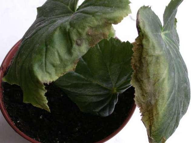 Желтеют листья, если растению не хватает света, а также при недостаточном или чрезмерном поливе