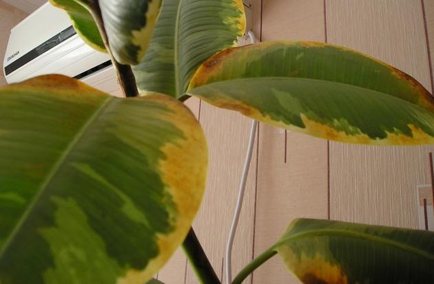 Как можно вылечить и предупредить ржавчину на растениях?