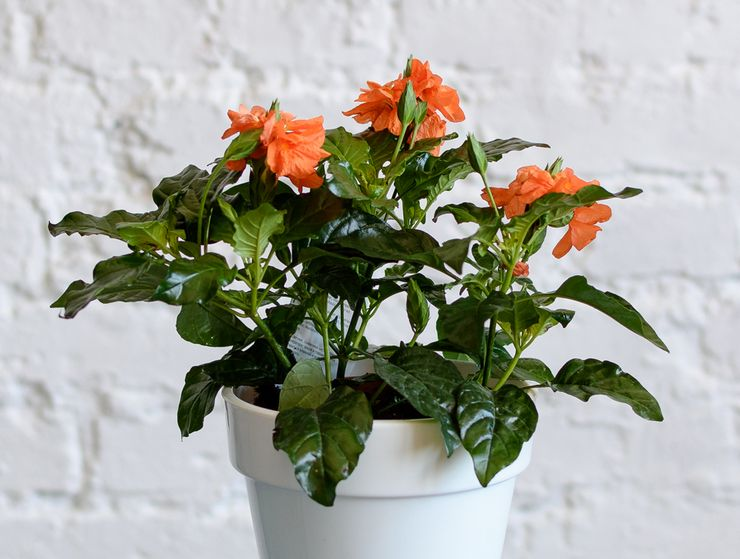 Растение кроссандра