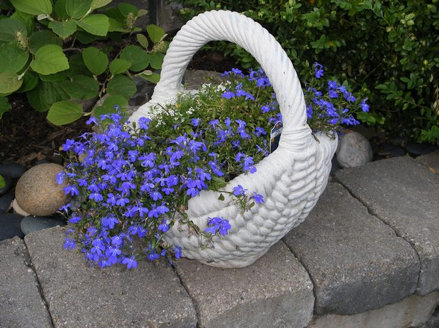 Голубая лобелия