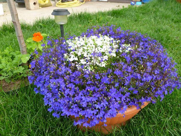Голубая лобелия — это растение, которое не может существовать без света и тепла