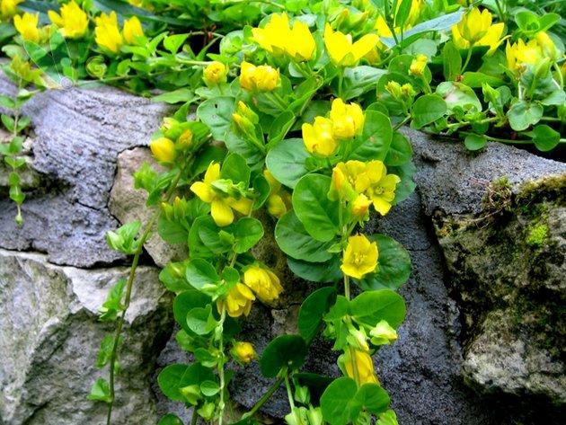 Любящее влажную почву, это многолетнее растение стелиться по земле