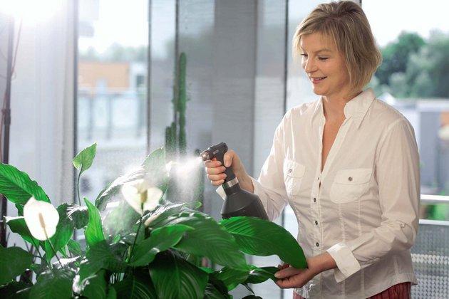 Если воздух недостаточно увлажнен, в дополнение к внекорневой подкормке производят опрыскивание растения
