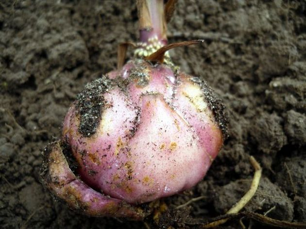 сажать луковичку на глубину, которая равна трем ее диаметрам