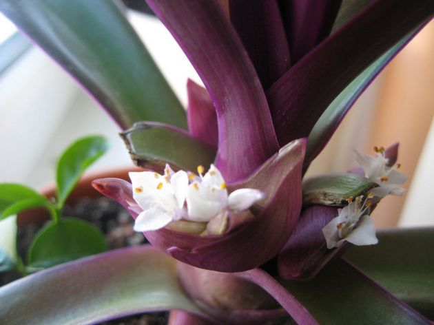 Цветы выпускает растение Рео почти целый год