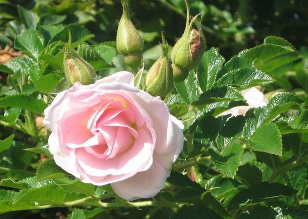 Посадка розы морщинистой и необходимый за ней уход