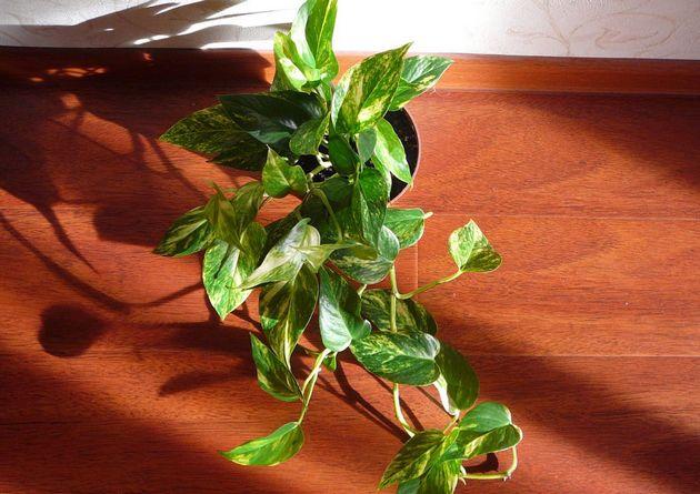 Молодое растение пересаживается каждый год