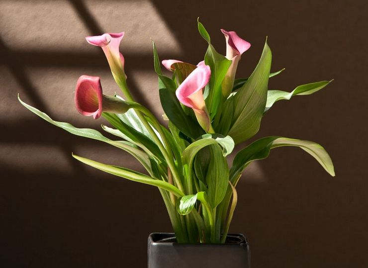 Растение калла