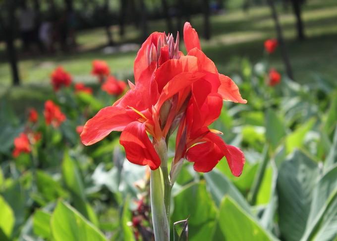 Где купить цветы для посадки канна заказ цветов актобе kz