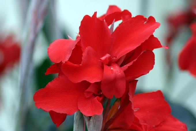 Цветок канна. Уход и размножение канны