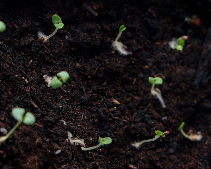 Выращивание лаванды из семян