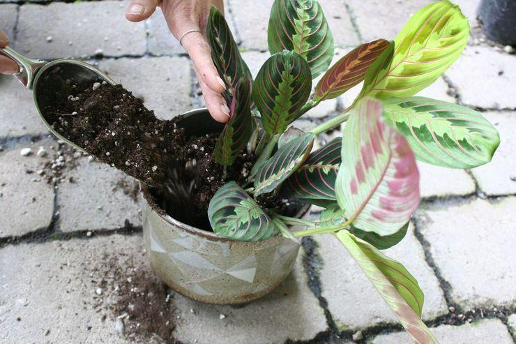 Субстрат для выращивания маранты