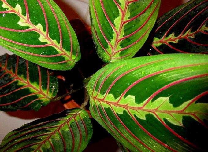 Как и для большинства растений маранта нуждается в умеренном поливе