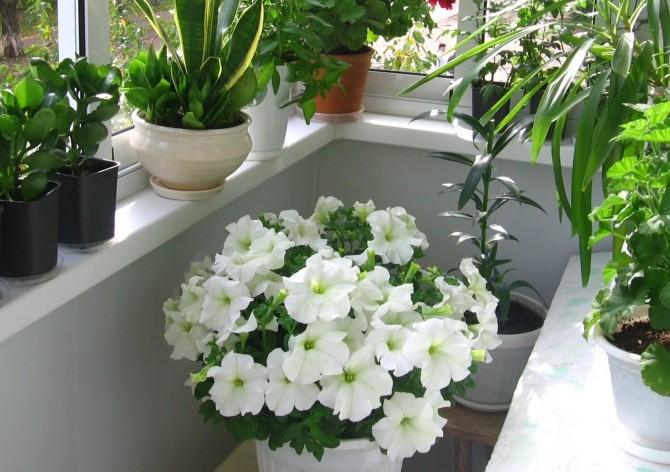 Цветы на лоджии фото