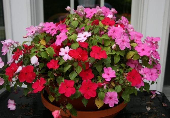 Комнатные цветы бальзамин