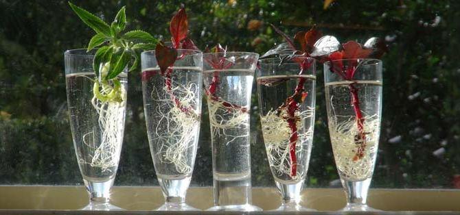 Бальзамин можно размножать семенами и черенками