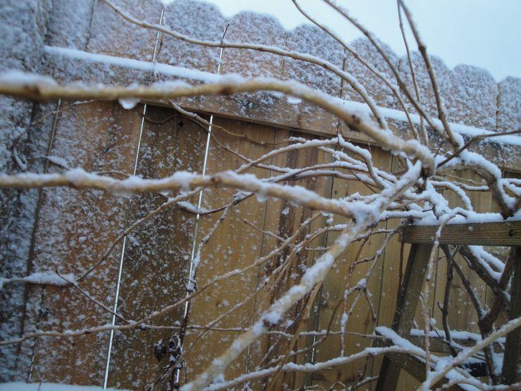 Кампсис зимой