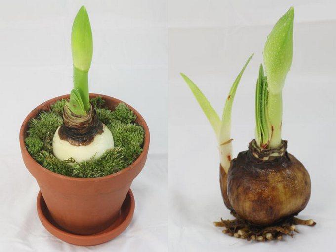 Сразу после окончания цветения гиппеаструма, необходимо срезать увядшие цветы