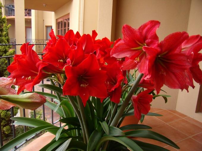 Гиппеаструм – растение комнатное, светолюбивое, но при этом не терпит прямых солнечных лучей