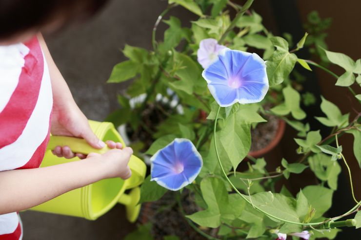 Уход за ипомеей в саду