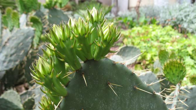 кактус фото опунция