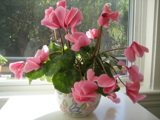 Цикламен – растение, которое любит повышенную влажность.