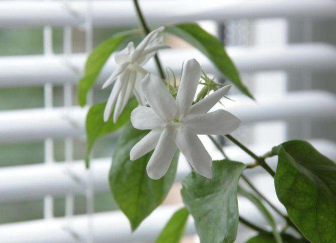 Жасмин домашний цветок