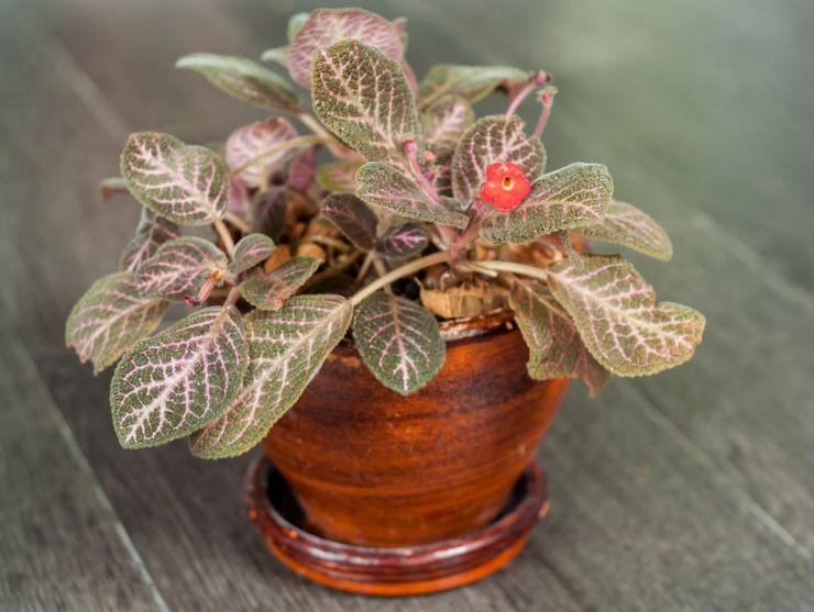 Растение эписция