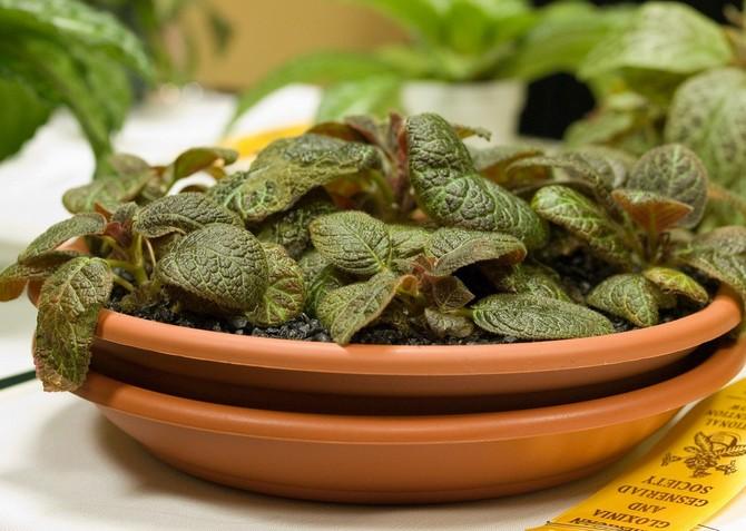 Размножение эписции можно производить с помощью семян, черенков или же розетками
