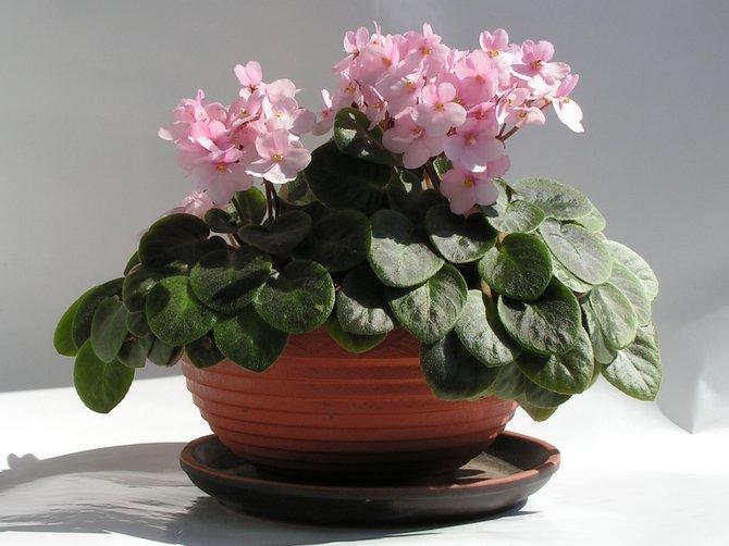 Советы и рекомендации по выращивания фиалок дома