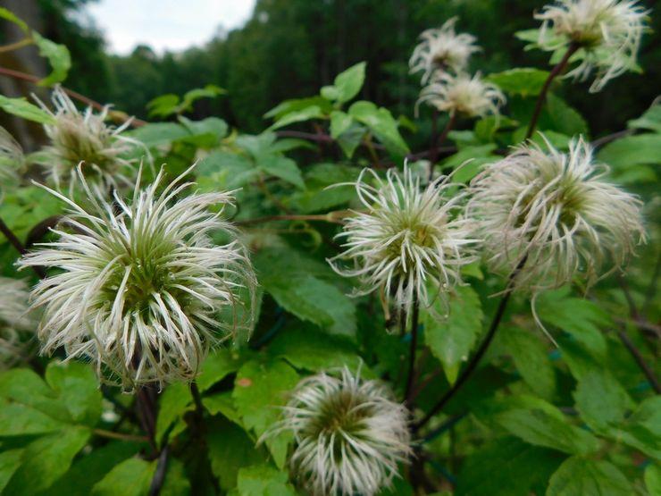 Клематис после цветения