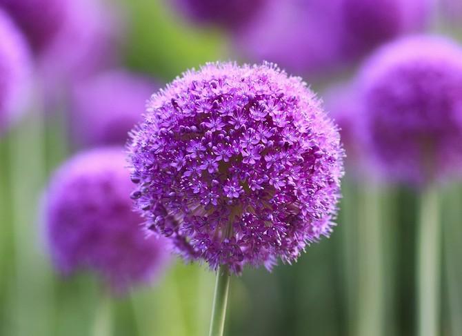 Оптимальный полив и почва для роста декоративного лука