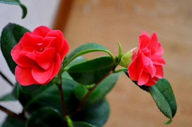 Как правильно выращивать цветы камелии дома