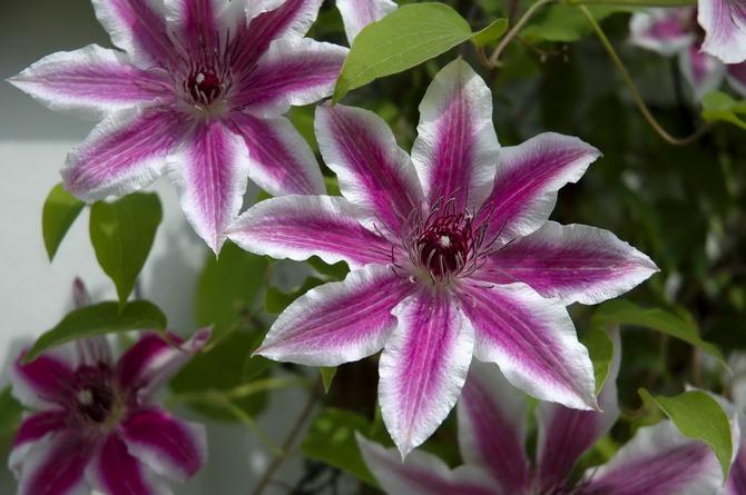 Выращиваем дома красивый цветок клематис