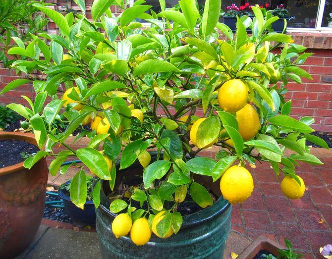 Выращиваем лимон из косточки собственными руками