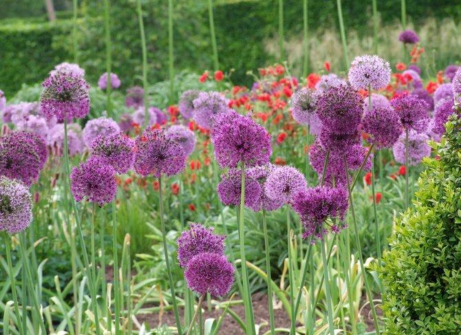 Советы и рекомендации как выращивать декоративный лук
