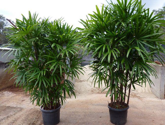 Советы и рекомендации по выращиванию пальмы раписа